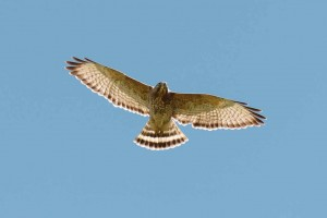 broad_winged_hawk_dsc4066-28
