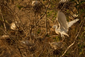 cattle_egret_dsc5299-65