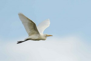 cattle_egret_dsc6861-18