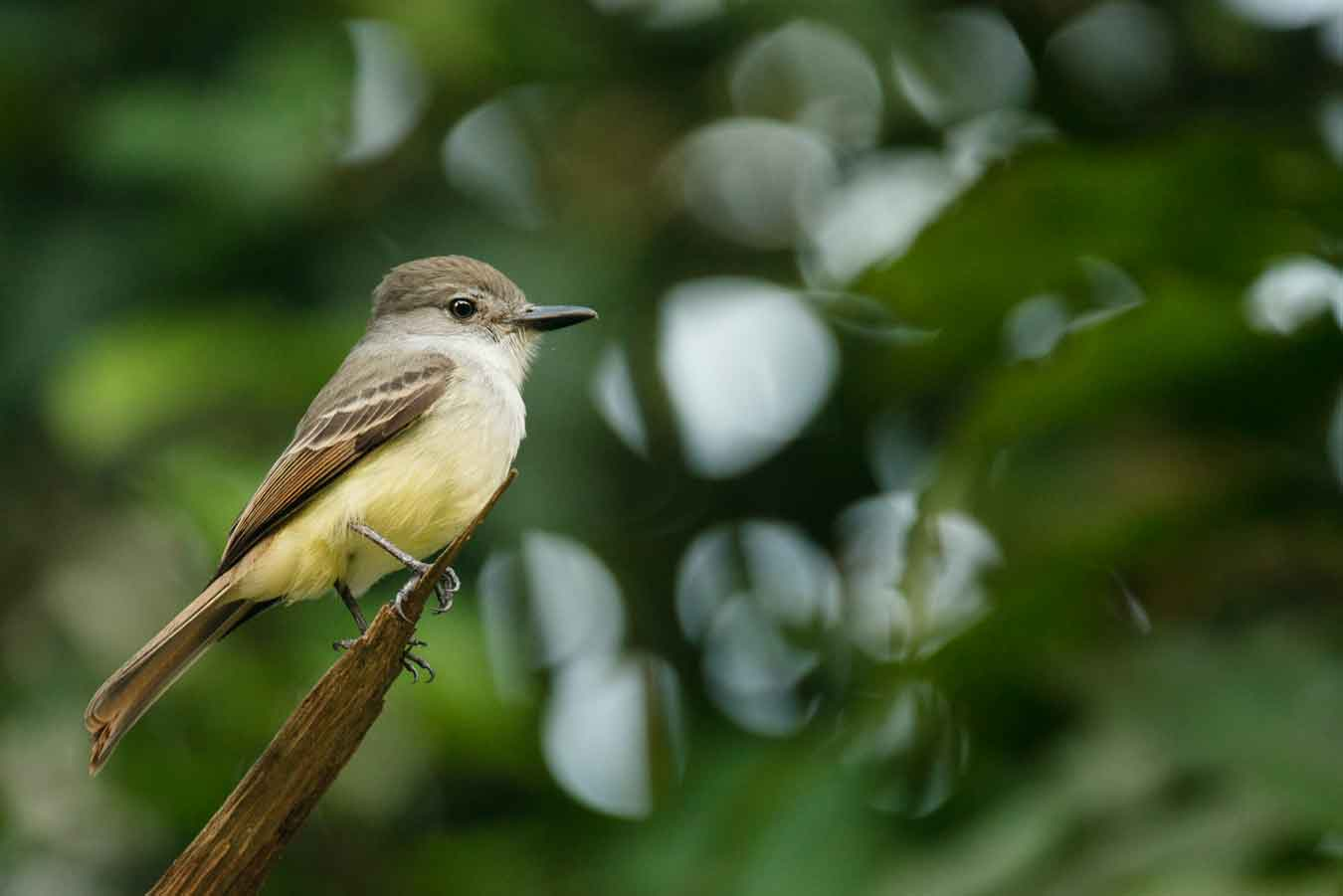 yellow warbler juvenile