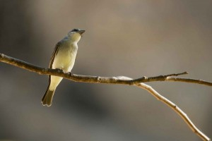 grey_kingbird_dsc5884-96