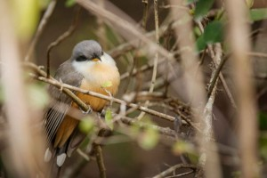 mangrove_cuckoo_dsc5438-71