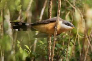 mangrove_cuckoo_dsc5464-75
