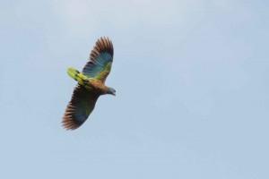 stlucia_parrot_dsc6913-20