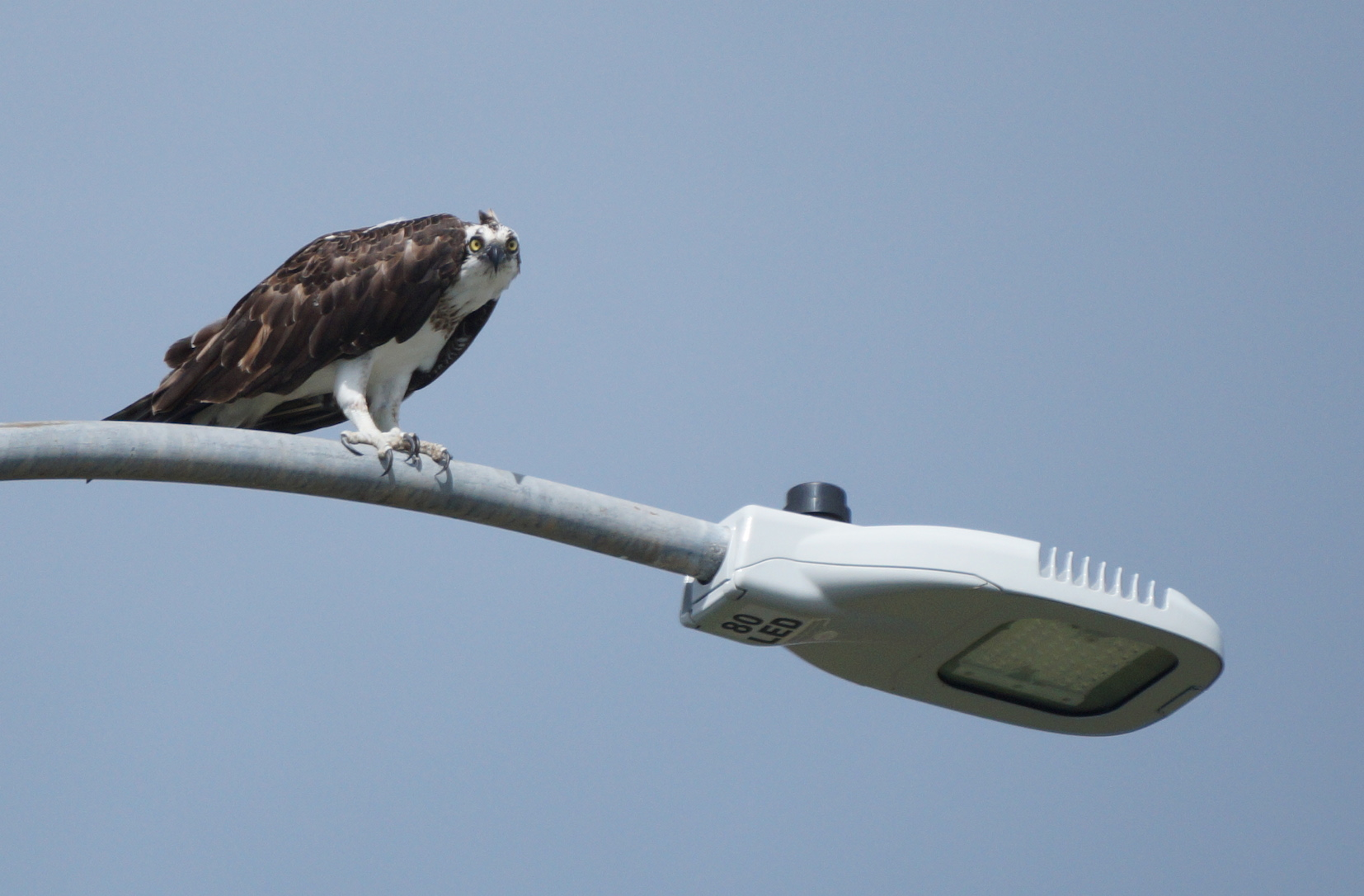 Osprey looking at us, Credit: Ed Drewitt