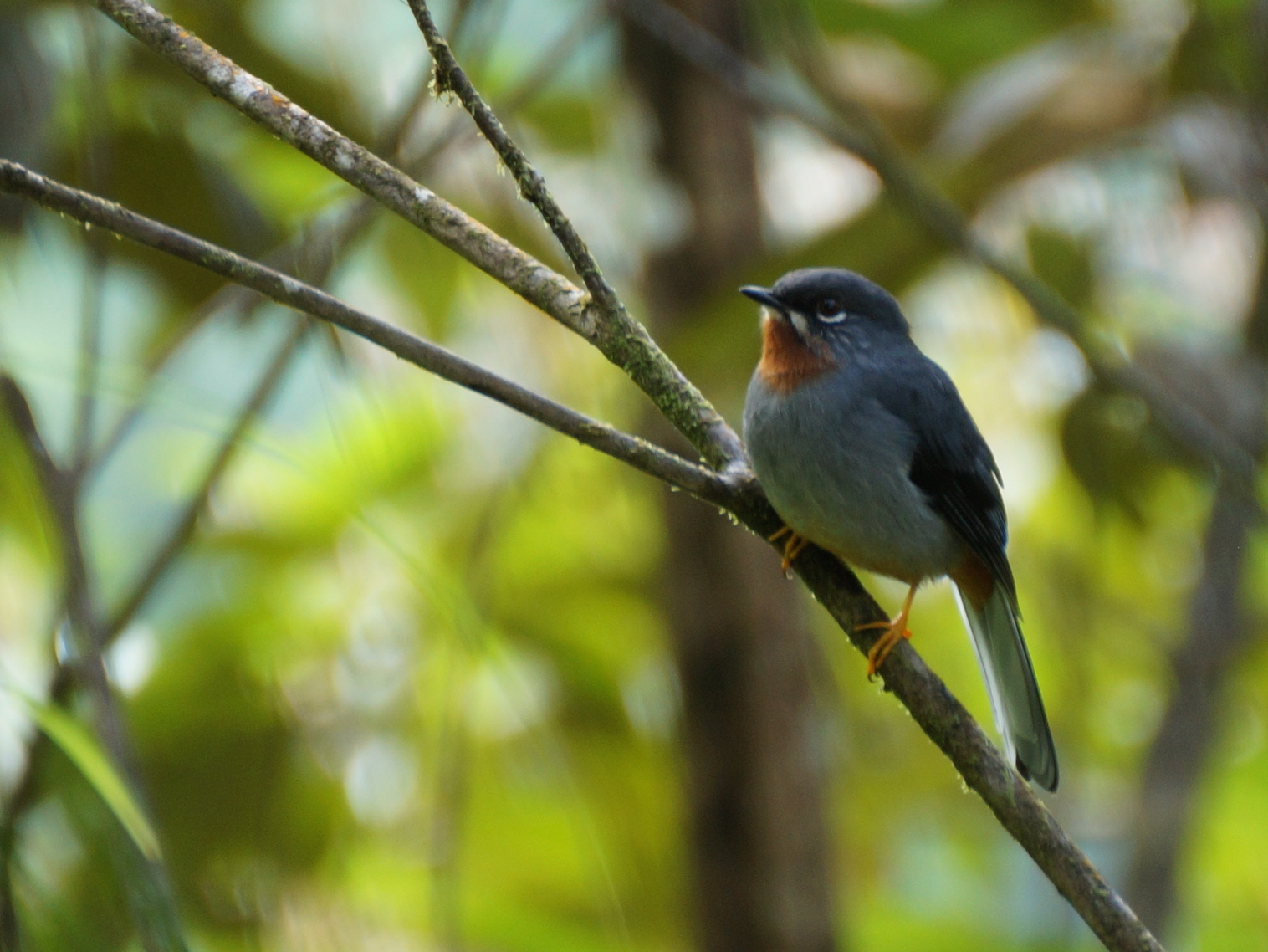 Rufous-throated Solitaire, Credit: Ed Drewitt