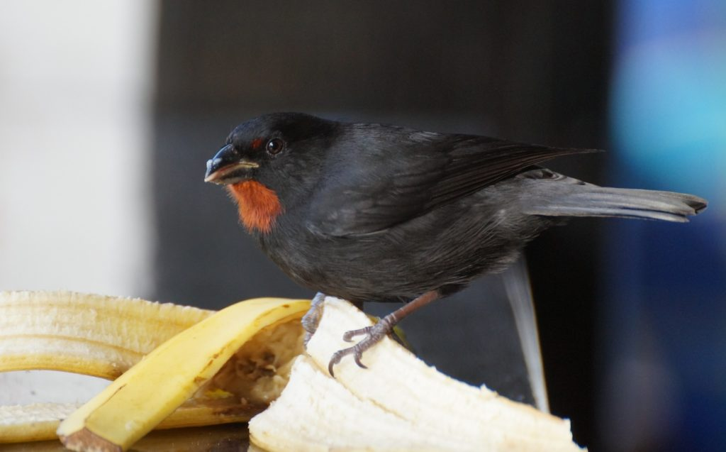 ED Lesser Antillean Bullfinch on banana