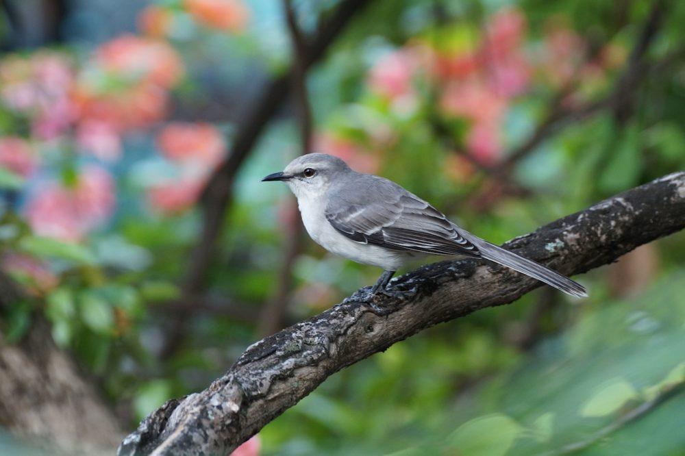 ED Tropical Mockingbird