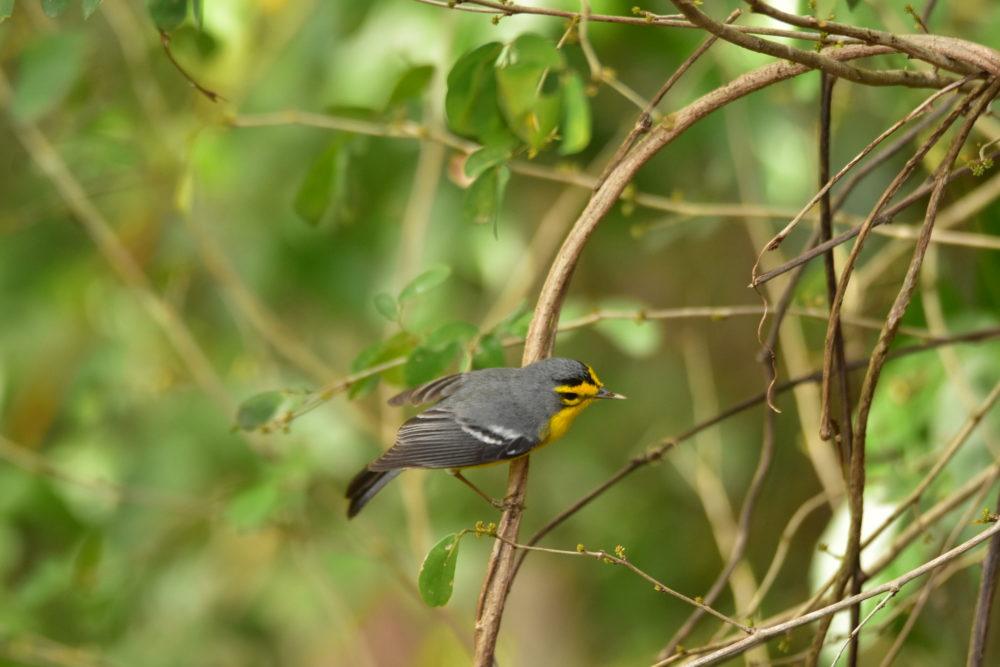 warbler 1